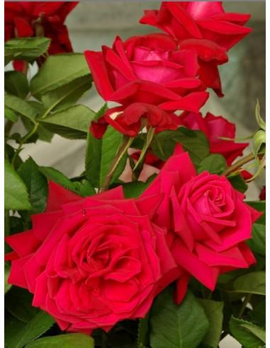 Ena Harkness czerwone róże wielkokwiatowe