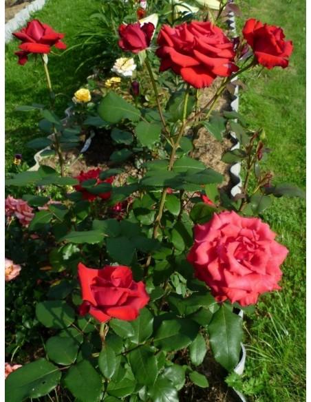 róże wielkokwiatowe Ena Harkness
