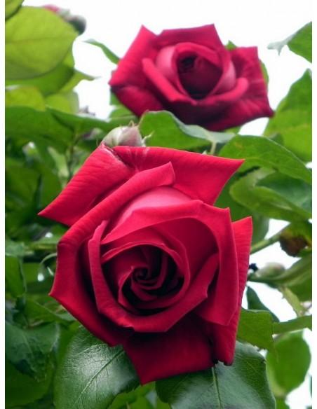 czerwona róża wielkokwiatowa Ena Harkness