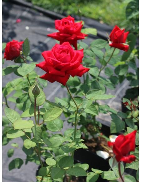 róża wielkokwiatowa Ena Harkness czerwona