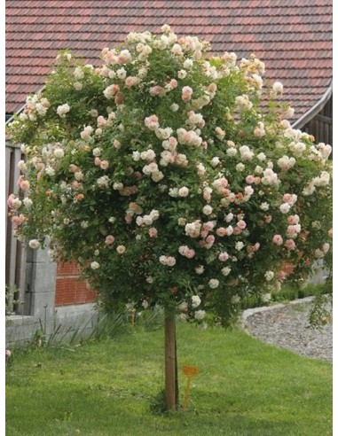 Ghislaine de Feligonde pienne roze łososiowe