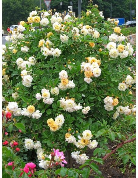 pienne róże łososiowe Ghislaine de Feligonde