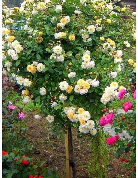 Ghislaine de Feligonde róże pienne łososiowe