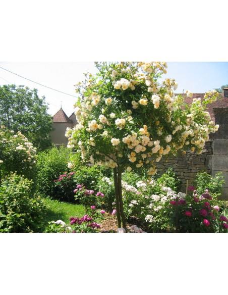 roze pienne łososiowe Ghislaine de Fligonde