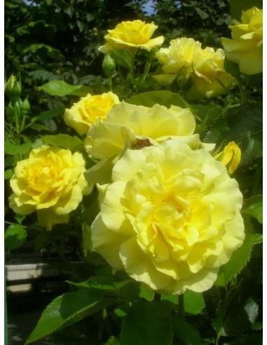 Friesia - żółte rabatowe róże