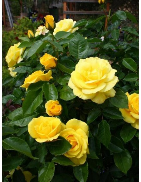 żółte róże rabatowe Friesia