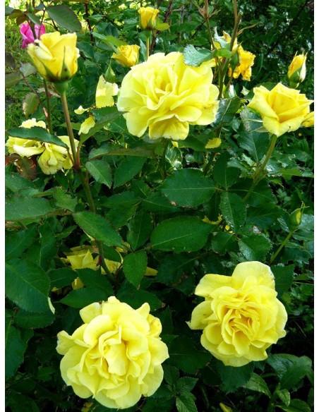 rabatowe róże Fresia żólte