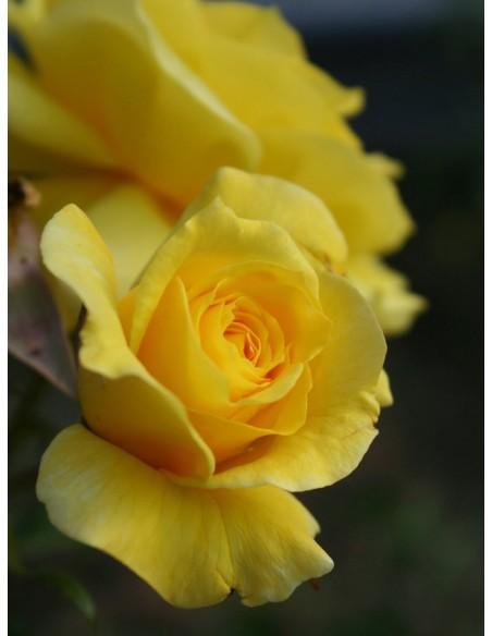 Fresia - rabatowe żółte róże