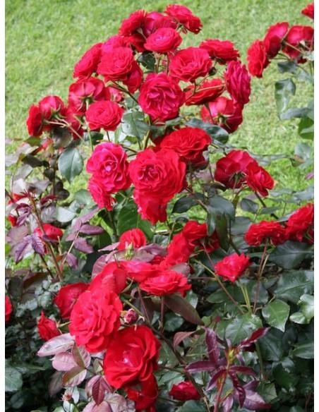 Europeana czerwone róże rabatowe