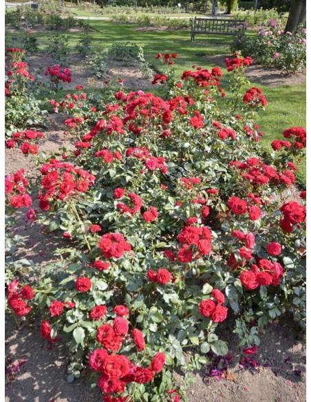 Europeana roze rabatowe czerwone