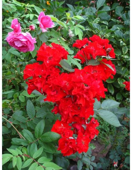 czerwone róże rabatowe Europeana