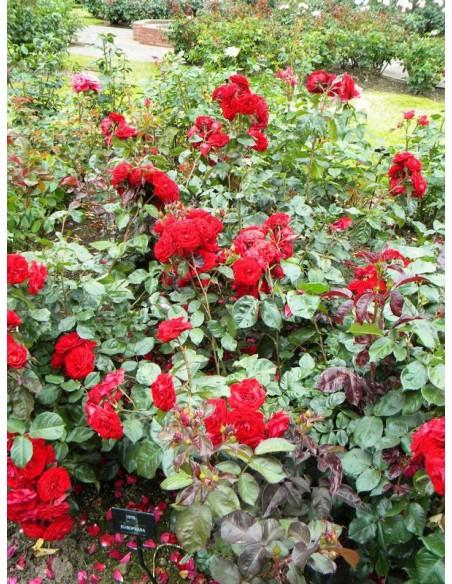 róże rabatowe Europeana czerwone