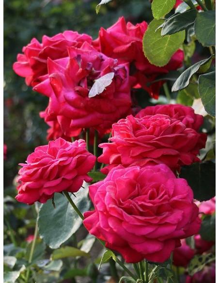 roze czerwone Dame de COEUR