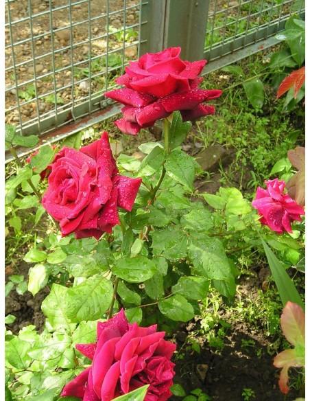 czerwone róże Dame de COEUR