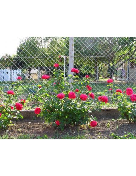 Dame de COEUR róże wielkokwiatowe