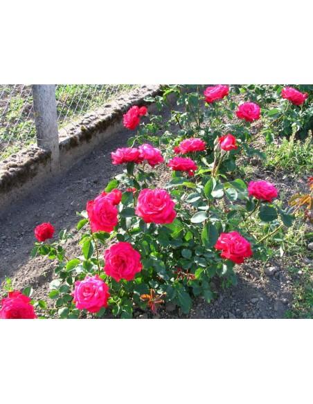 czerwona róża Dame de COEUR