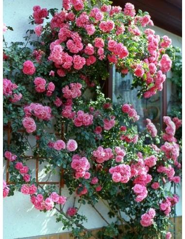 róze pnące Rosarium