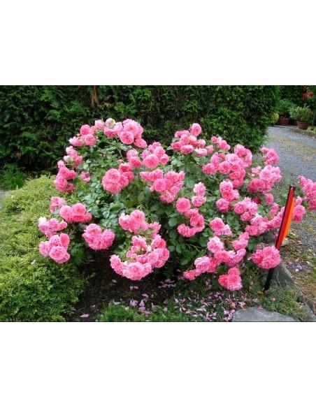 Rosarium róże pnące