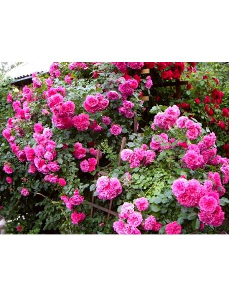 różowe róże pnące Rosarium