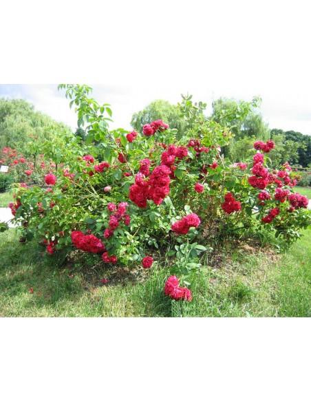 Rosarium różowe róże pnące
