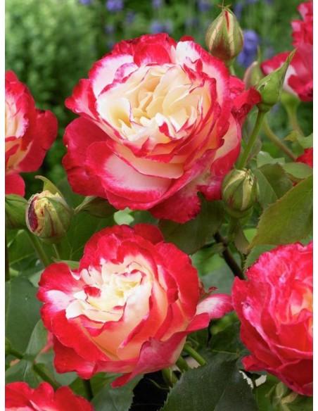 róże wielkokwiatowe Double Delight