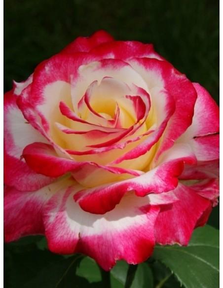 pachnące róże wielkokwiatowe Double Delight