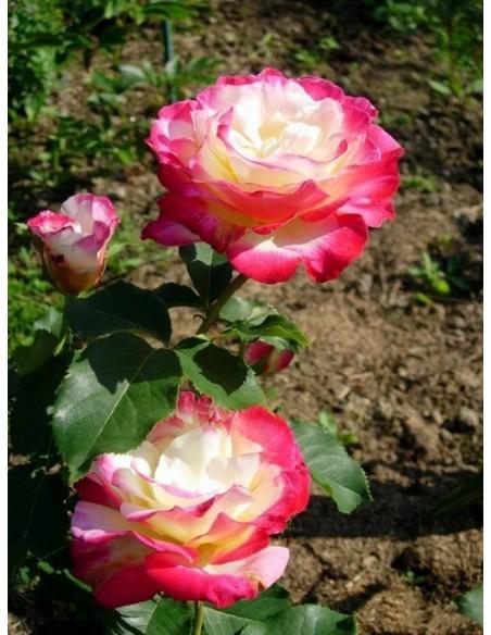 Double Delight róże wielkokwiatowe