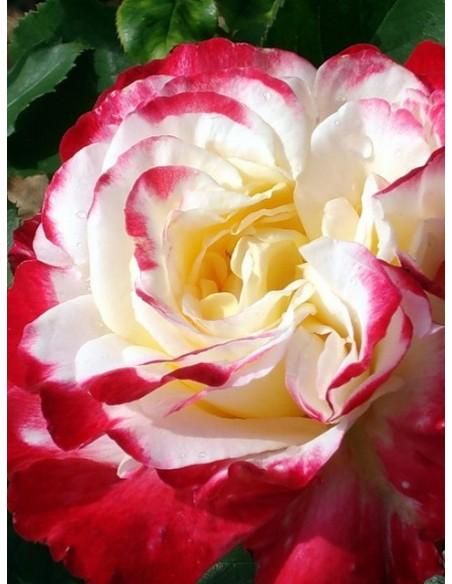wielkokwiatowa róża Double Delight