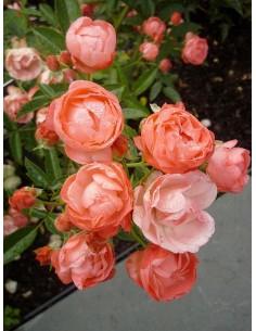Margo Koster pomarańczowe róże okrywowe
