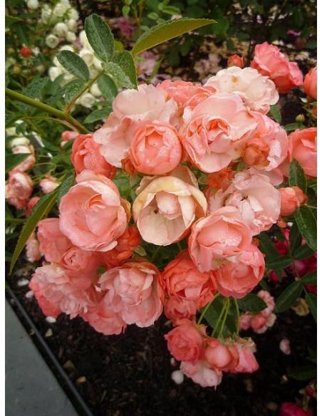pomarańczowe róże okrywowe Margo Koster