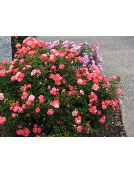pomarańczowe okrywowe róże Margo Koster
