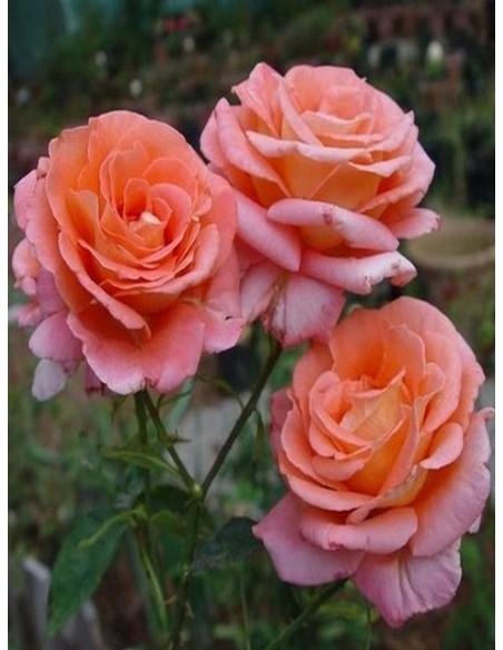 róża herbaciana folklore