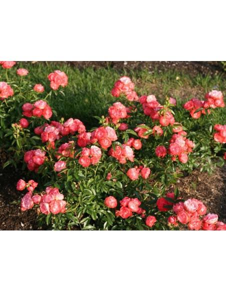 pomarańczowe róże Margo Koster okrywowe