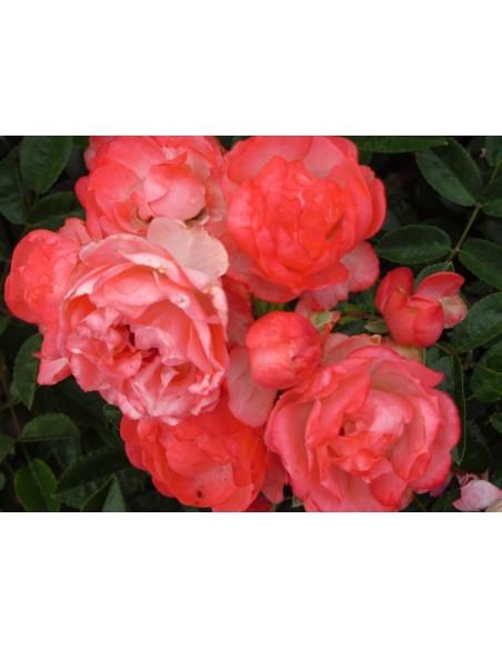 pomaranczowe roze Margo Koster