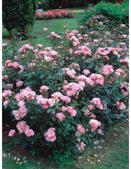Bonica 82 roze rabatowe