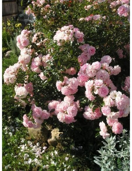 Bonica 82 róże rabatowe