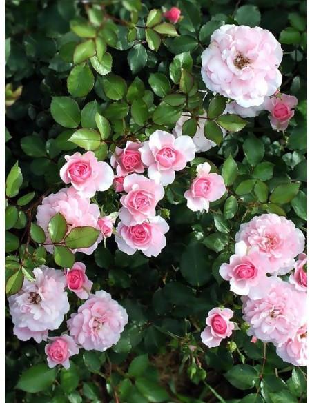 róże rabatowe BONICA 82