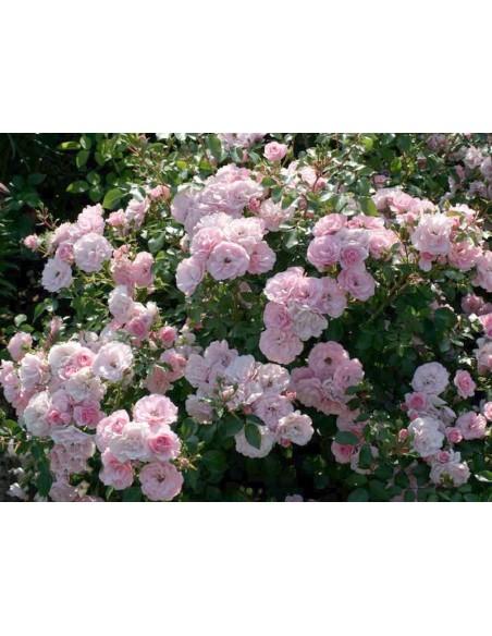 Bonica 82 rabatowe roze