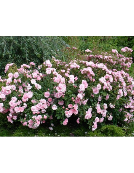 Bonica 82 rabatowe róże