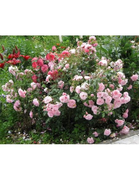 rabatowe róże Bonica 82