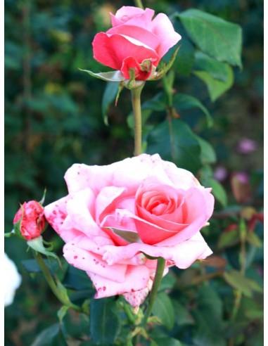 wielkokwiatowe róże carina