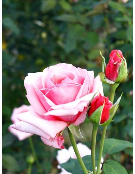 roze wielkokwiatowe carina
