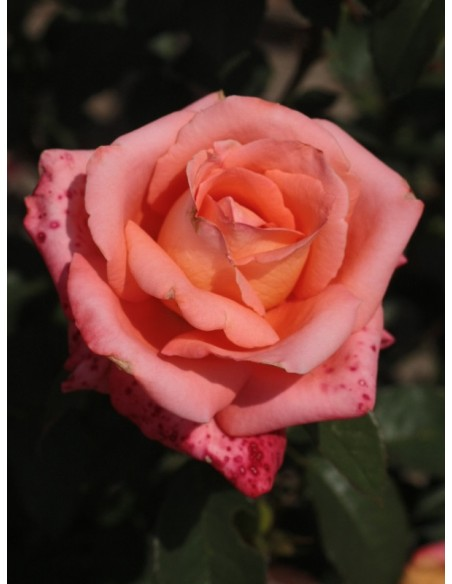 folklore róża wielkokwiatowa