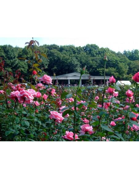 roza wielkokwiatowa różowa carina