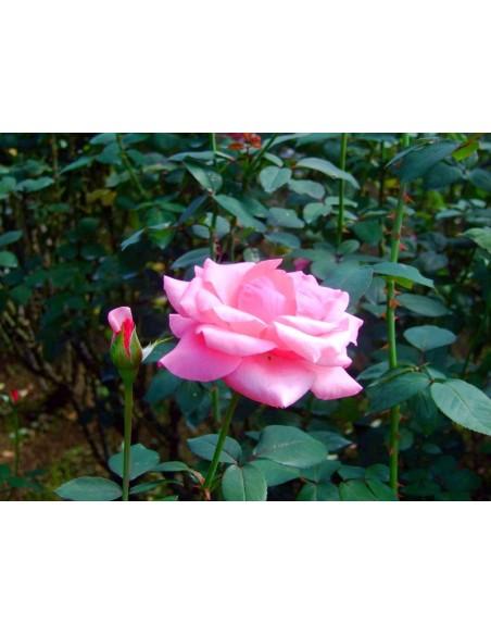 różowe wielkokwiatowe róże carina