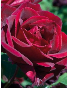 Papa Meilland roze pachnące wielkokwiatowe