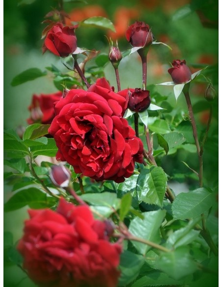 róże wielkokwiatowe pachnące Papa Meilland