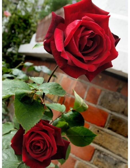 Papa Meilland pachnące róże wielkokwiatowe