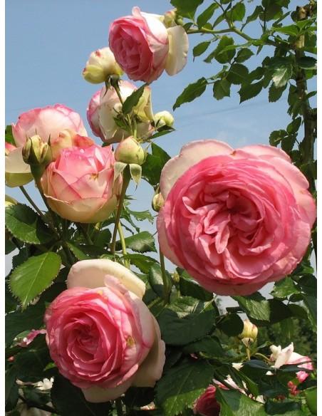 róże parkowe Eden Rose