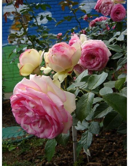 parkowe róże Eden Rose